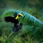 Toucan flying through tropical forest in Nicaragua